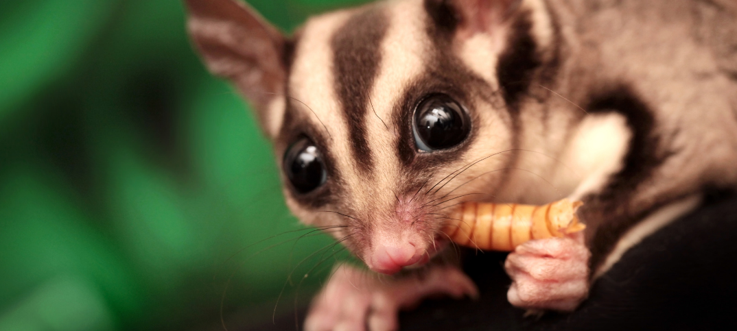 13 Sugar Glider as Pets Pros and Cons