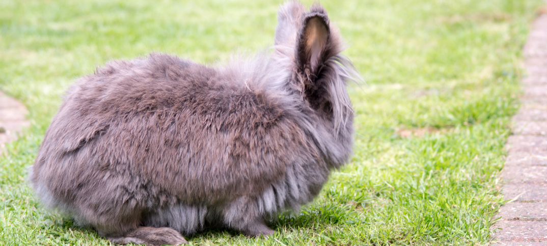 13 Lionhead Rabbit Pros and Cons