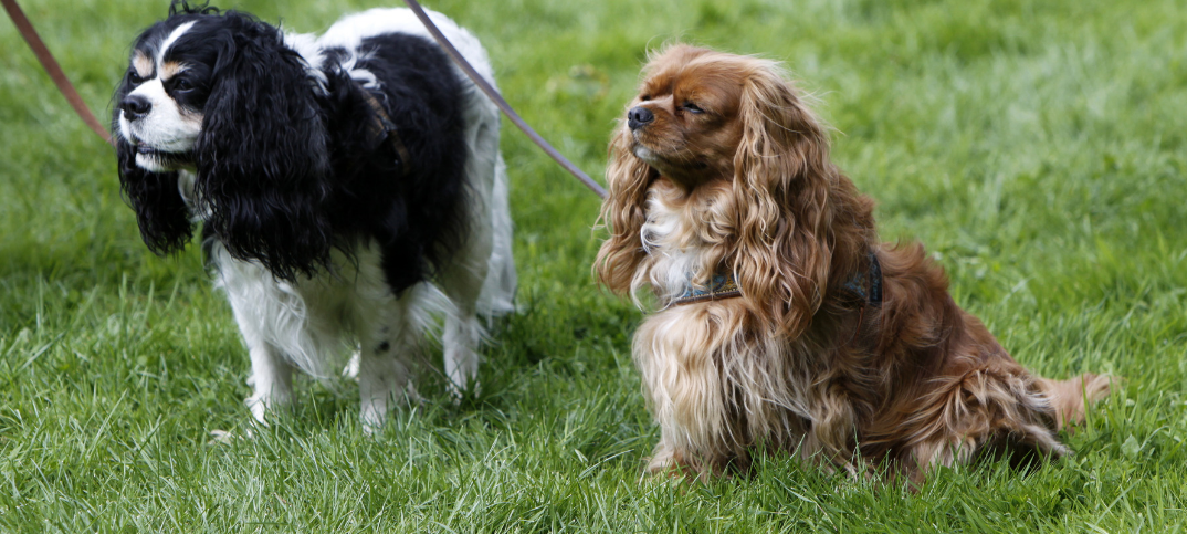 17 Pros and Cons of Owning a Cavalier King Charles Spaniel