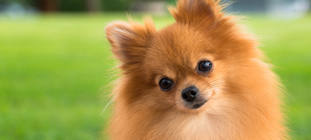 14 Pomeranian Pros and Cons