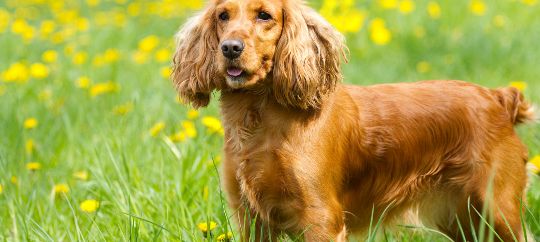 14 Pros and Cons of Owning a Cocker Spaniel