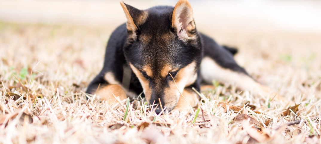 15 Pros and Cons of Owning a Shiba Inu