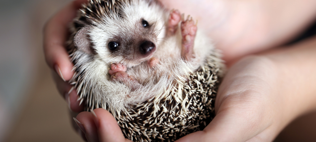 15 Pros and Cons of Having a Hedgehog as a Pet