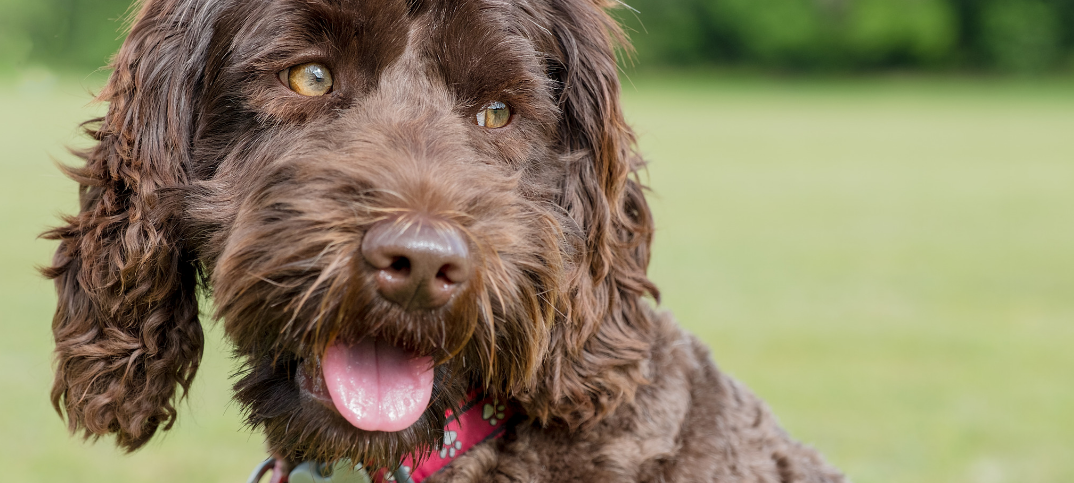15 Pros and Cons of Owning a Labradoodle