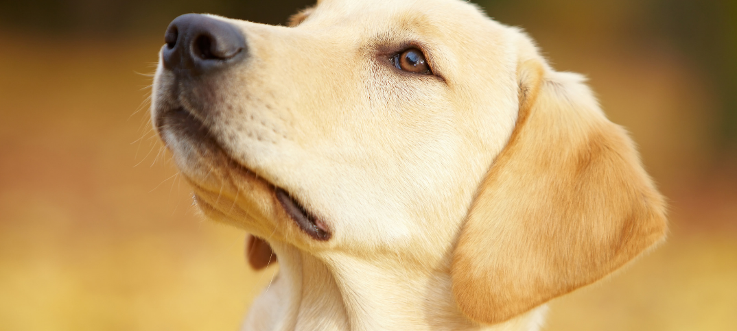 15 Pros and Cons of Owning a Labrador Retriever
