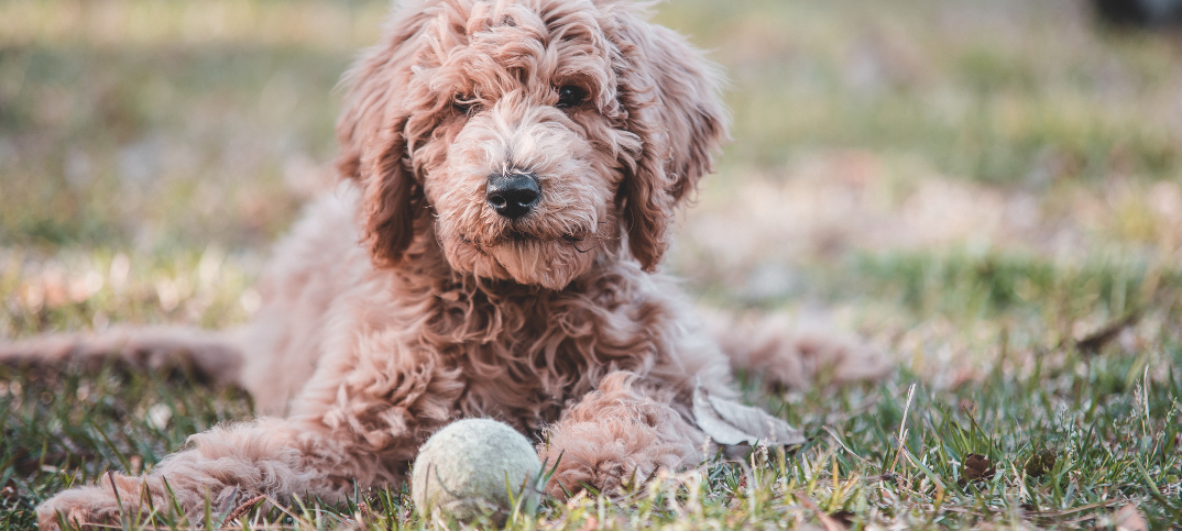 16 Pros And Cons Of Owning A Goldendoodle Green Garage
