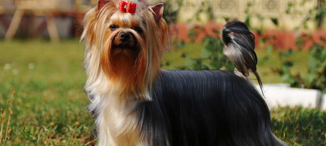 16 Pros and Cons of Owning a Yorkshire Terrier