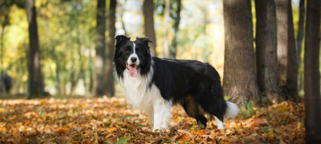 Pros and Cons of Owning a Border Collie