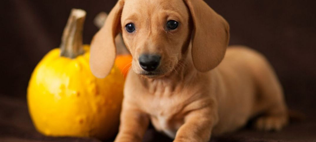 Pros and Cons of Owning a Dachshund