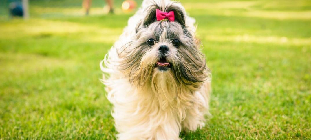 Pros and Cons of Owning a Shih Tzu
