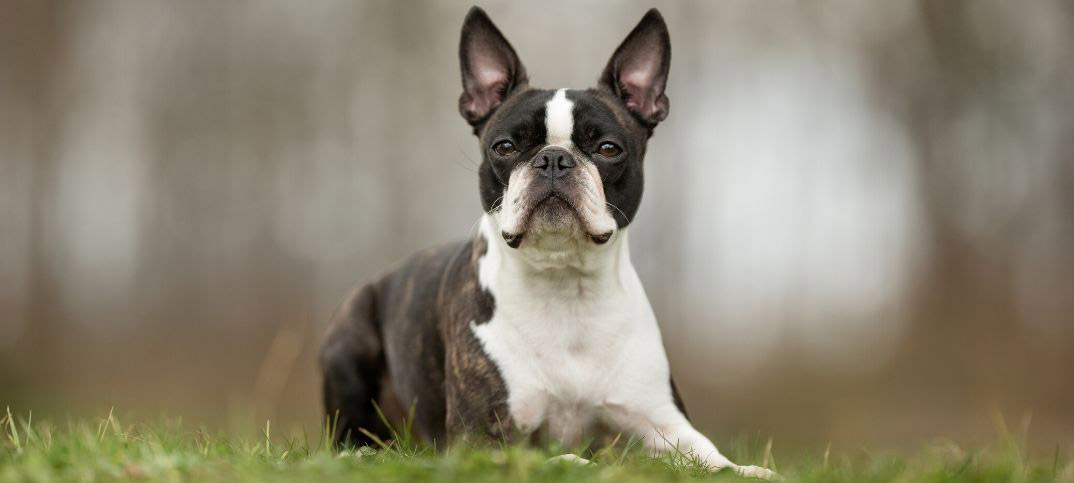 Pros and Cons of Owning a Boston Terrier