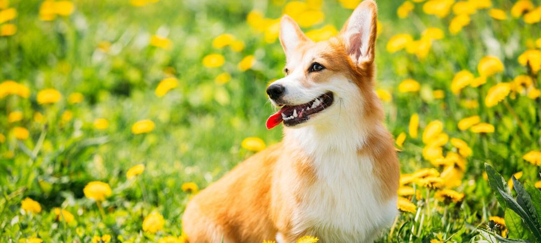 Pros and Cons of Owning a Corgi