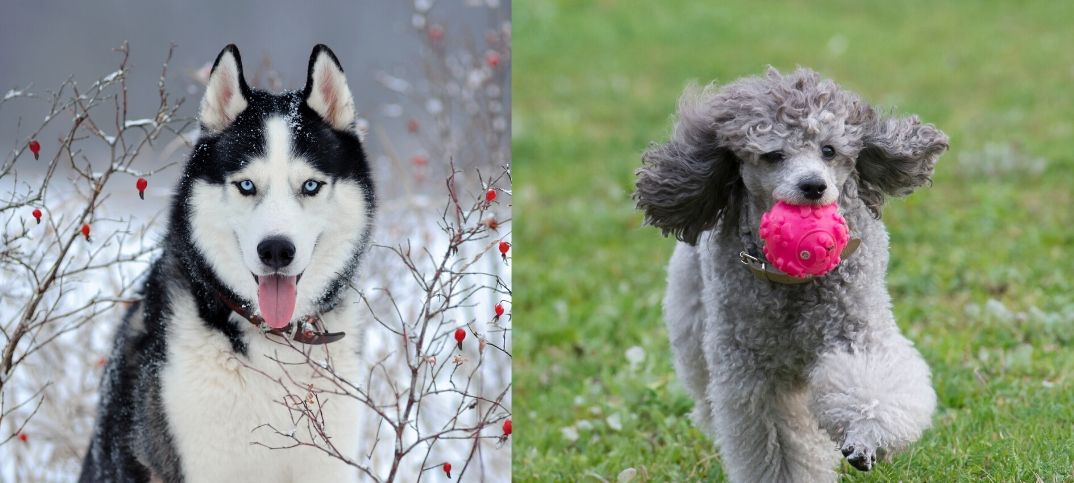 Poodle and Husky Mix