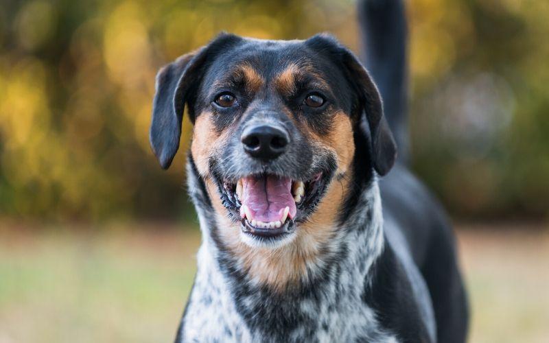 beagle-australian-cattle-dog