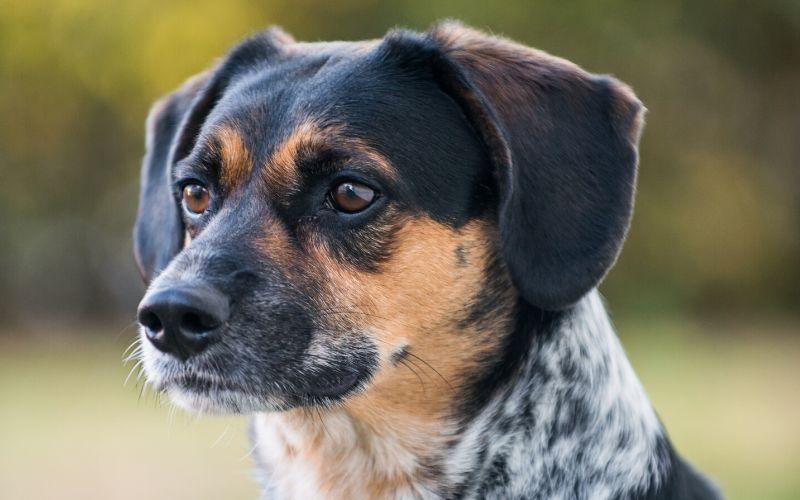 beagle-cattle-dog-mix