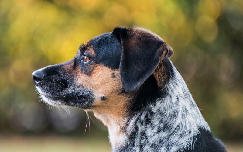 cattle-dog-beagle-mix