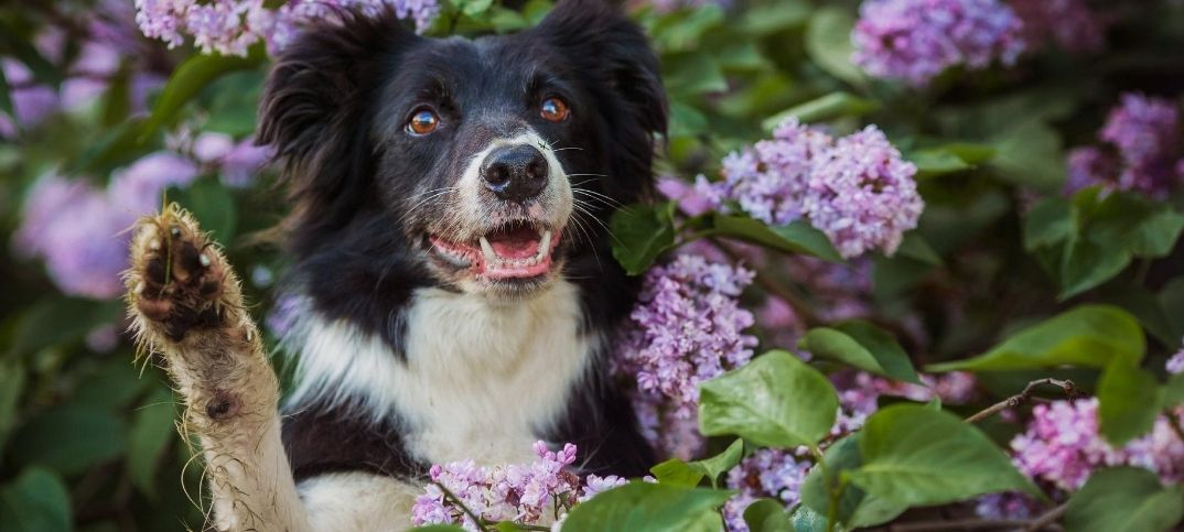 Pit Collie Mix Flowers