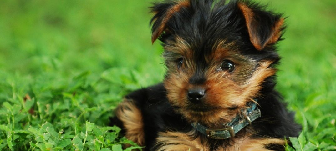 Yorkie Dogs Names