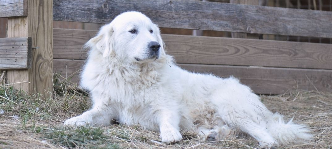 Great Pyrenees Dog Names